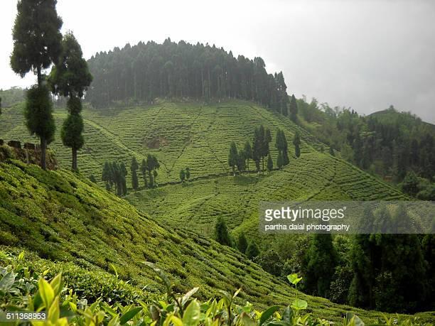 Tea garden of darjeeling