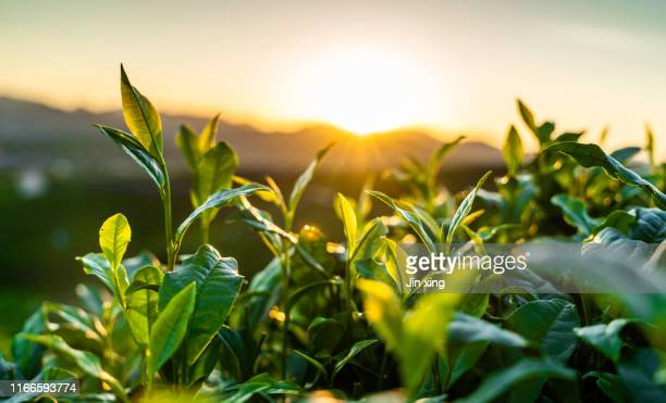 tea garden - organic farm stock pictures, royalty-free photos & images