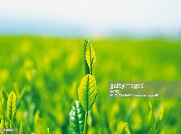 tea garden - abundance stock pictures, royalty-free photos & images