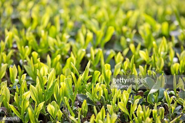 Tea garden,close-up