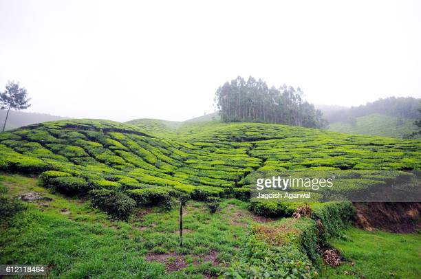 Tea gardens in Munnar hill station, Kerala, India