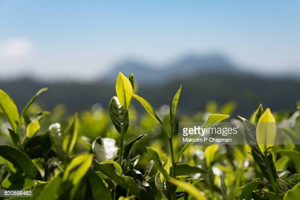 tea growing in a plantation near nuwara eliya, sri lanka - camellia sinensis stock photos and pictures