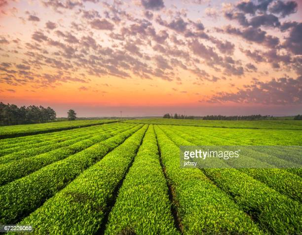 Tea growing in spring near sunset