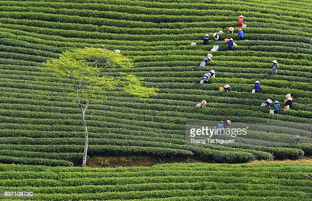 Tea harvesting in Cau Dat tea plantation, Da lat, Vietnam