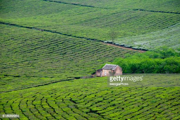 Tea hill in Moc Chau