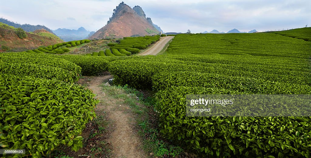 Tea hills farms : Stock Photo