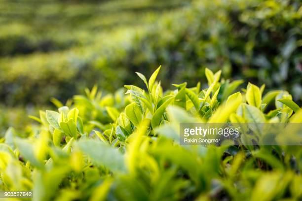 Tea leaf plantation background after the rain