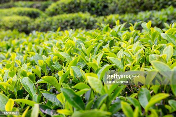 tea leaf plantation background after the rain - tea leaves stock photos and pictures