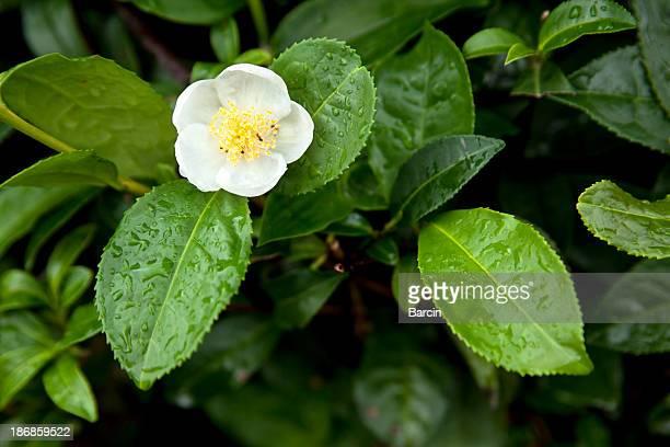 Tea leaves and flower