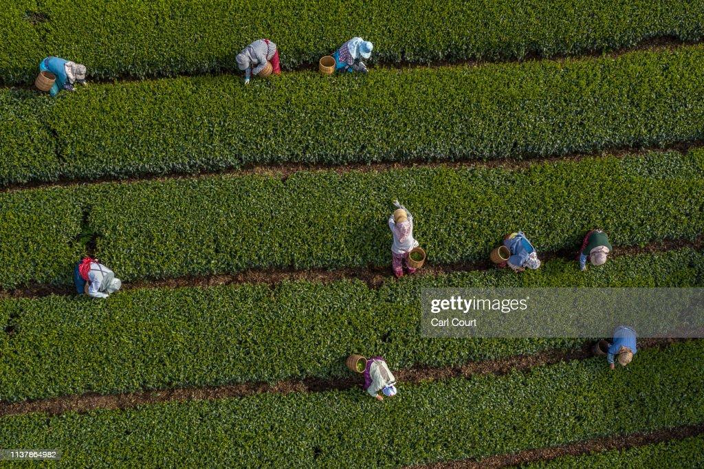 JPN: Farmers Handpick First Tea Of The Season In Shizuoka