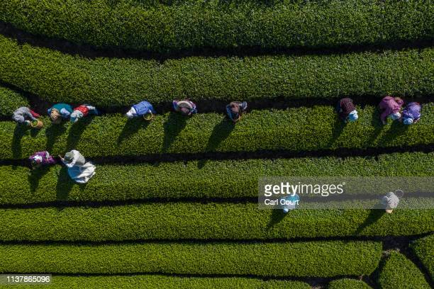 Tea leaves are handpicked at the Moriuchi Tea Farm on April 18, 2019 in Shizuoka, Japan. Japan produces approximately 100,000 tons of green tea per...