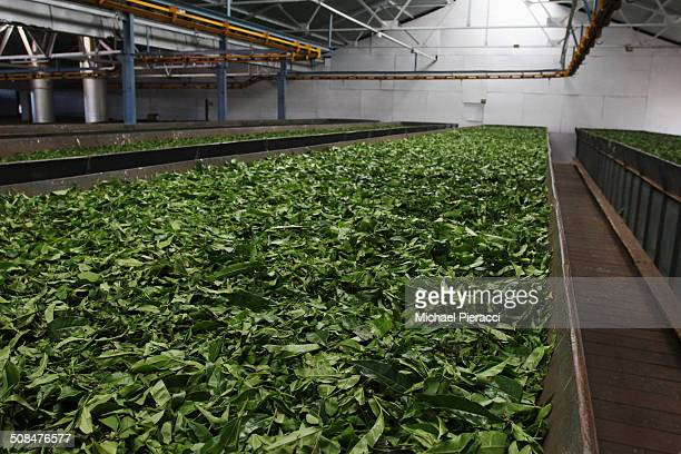 Tea leaves drying in large container