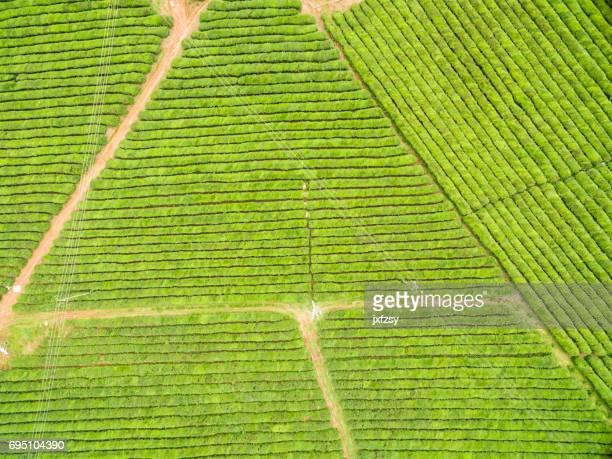theeblaadjes groeien in de zonnige dag luchtfoto