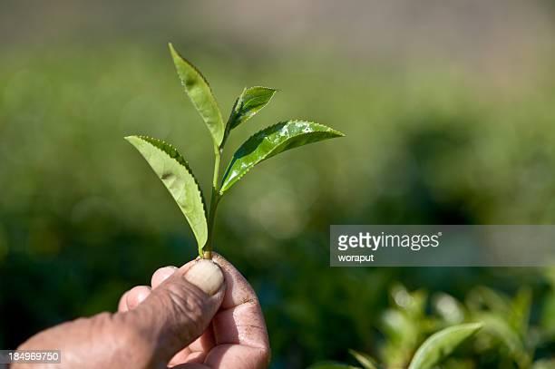 té selector de manos - actividad de agricultura fotografías e imágenes de stock