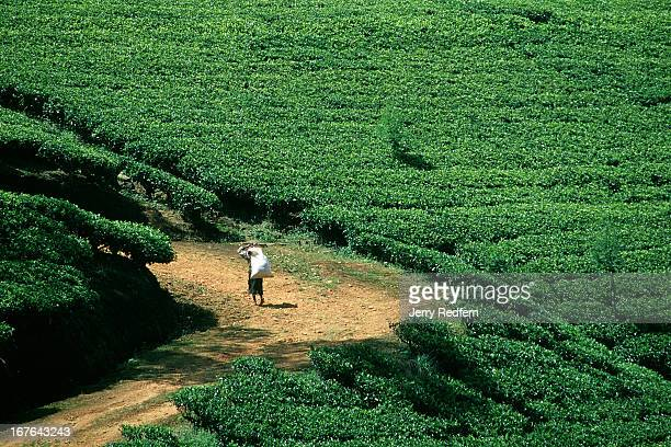 A tea picker hikes up a road through the tea plantations covering the hillsides surrounding Nuwara Eliya On her back she carries a sack with...