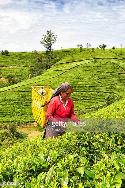 tea picker in nuwara eliya, sri lanka - camellia sinensis stock photos and pictures