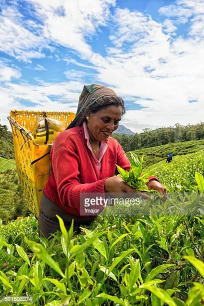 Tee-Picker in Nuwara Eliya Sri Lanka