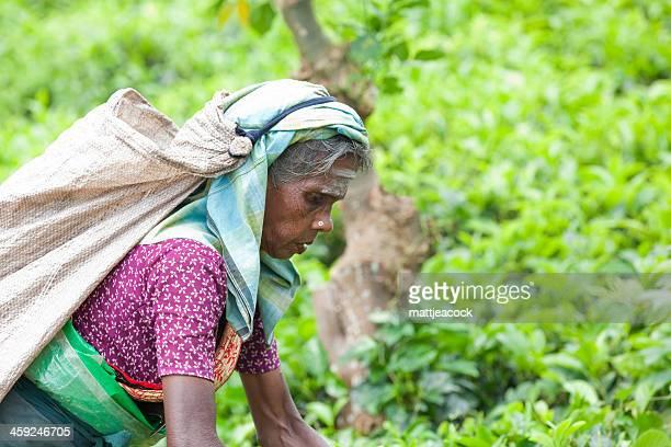 Thé picker au Sri Lanka