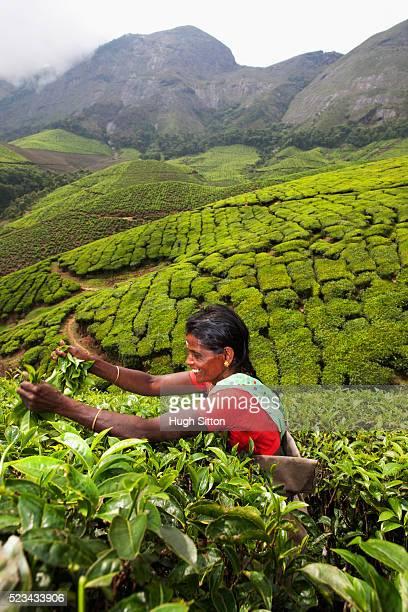 tea picker, kerala, southern india - hugh sitton stock-fotos und bilder