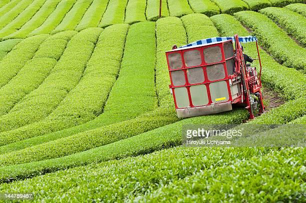 Tea picker