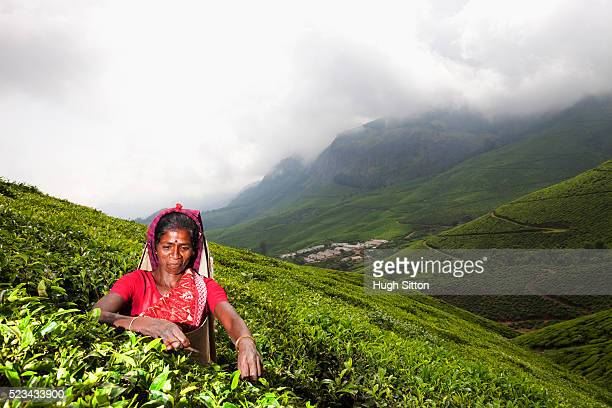 tea picker, plucking tea leaves, kerala, southern india - hugh sitton india stock pictures, royalty-free photos & images