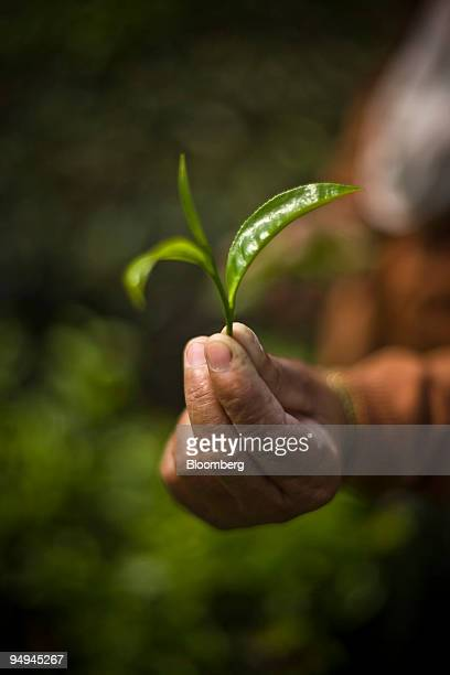 A tea picker shows the bud of the tea leaf while plucking the first flush leaves at the Makaibari Tea estate in Darjeeling India on Thursday March 12...