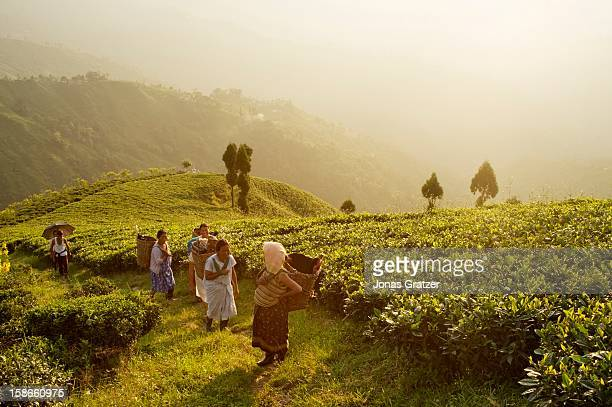 Tea pickers on their way home after a long day's work amongst the tea bushes The mountains around Darjeeling are naturally gifted with the perfect...