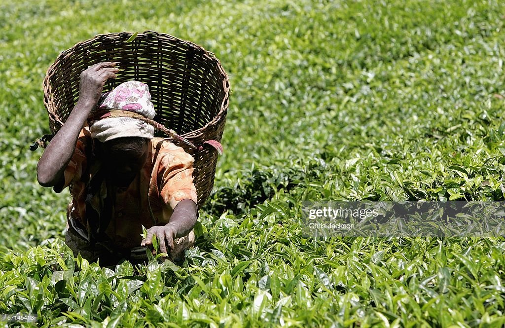 worlds primary tea producer - 640×373