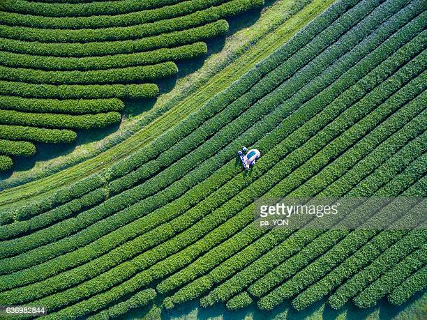 tea picking aerial view - alternative energy stock photos and pictures