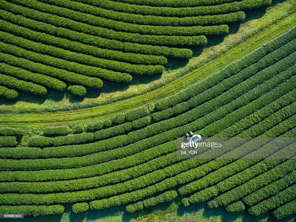 Tea Picking Aerial view : Stock Photo