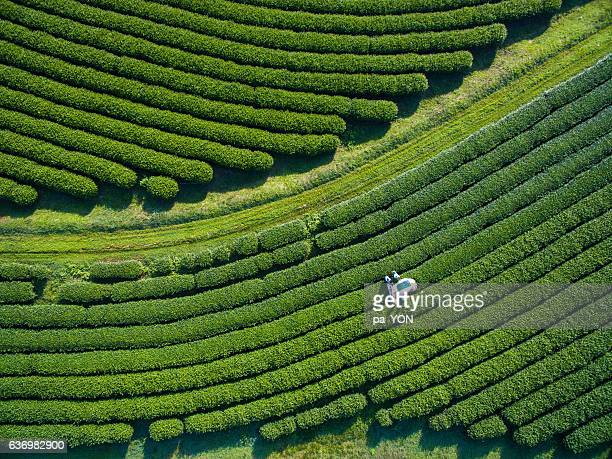 tea picking aerial view - gewas stockfoto's en -beelden