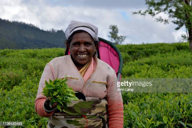 tea picking in tea country - john laing stock pictures, royalty-free photos & images