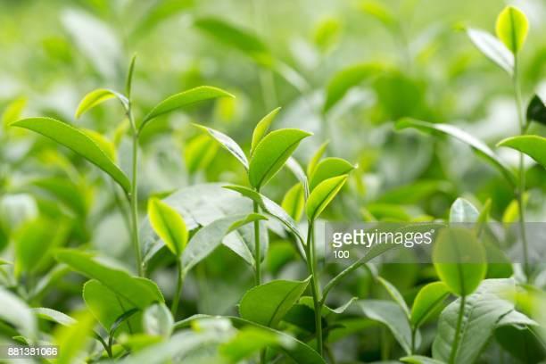 tea - hoja te verde fotografías e imágenes de stock