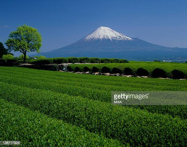 tea plantation and mount fuji, fujinomiya, shizuoka, japan - shizuoka stock photos and pictures