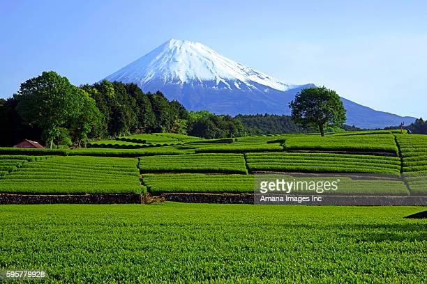 Tea plantation and Mt. Fuji