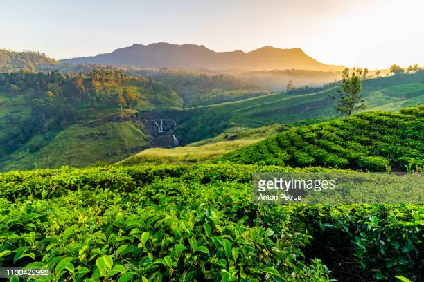 Tea plantation and St Claire waterfall at sunrise, Sri Lanka
