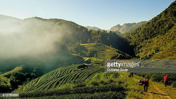 Tea plantation at Doi Ang Khang, Chiang Mai, Thailand