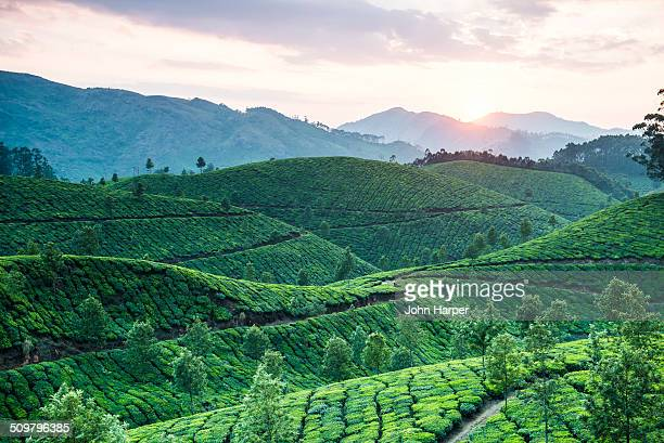Tea plantation at sunset, Kerala, India