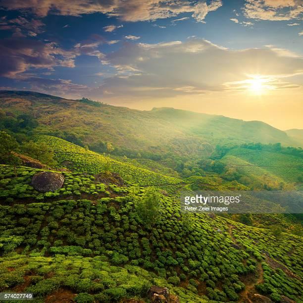 Tea plantation at sunset