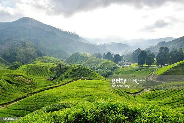 Tea plantation Cameron Highlands Malaysia Asia