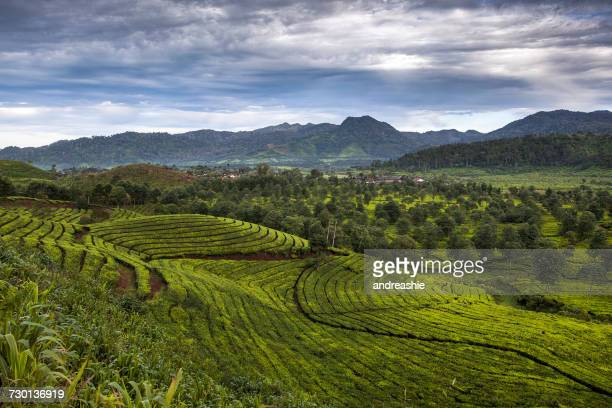 Tea Plantation, Ciwidey, Bandung, West Java, Indonesia