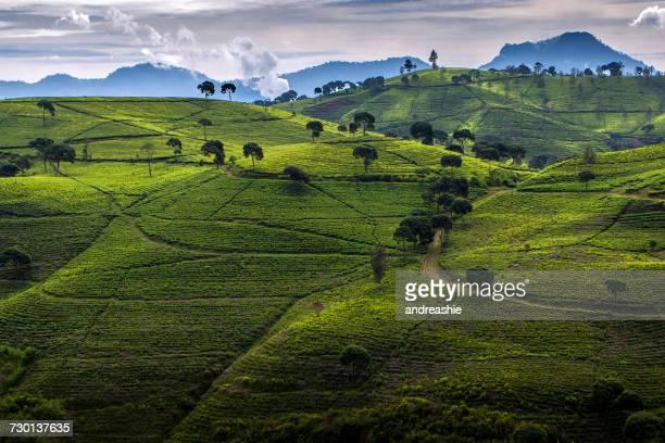 Tea Plantation, Ciwidey Bandung, West Java, Indonesia