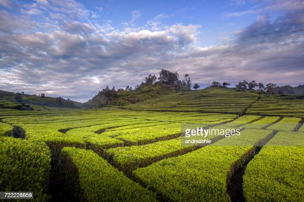Tea Plantation, Ciwidey, West Java, Indonesia