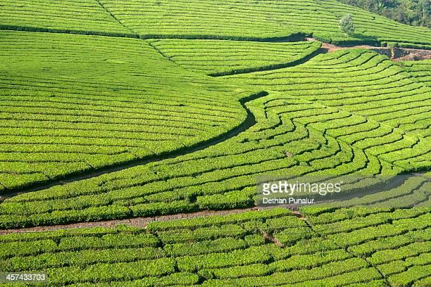 Tea plantation in a slope