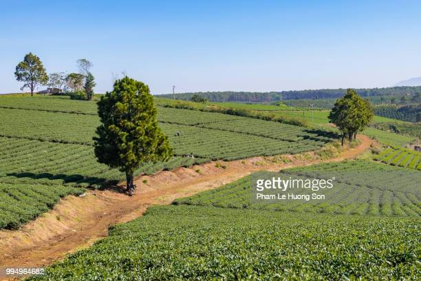 tea plantation in bao loc vietnam - tea tree oil stock photos and pictures