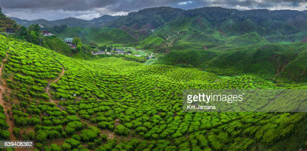 tea plantation in cameron highlands, malaysia - plantation stock pictures, royalty-free photos & images