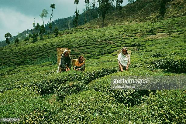 A tea plantation in Darjeeling India 1960