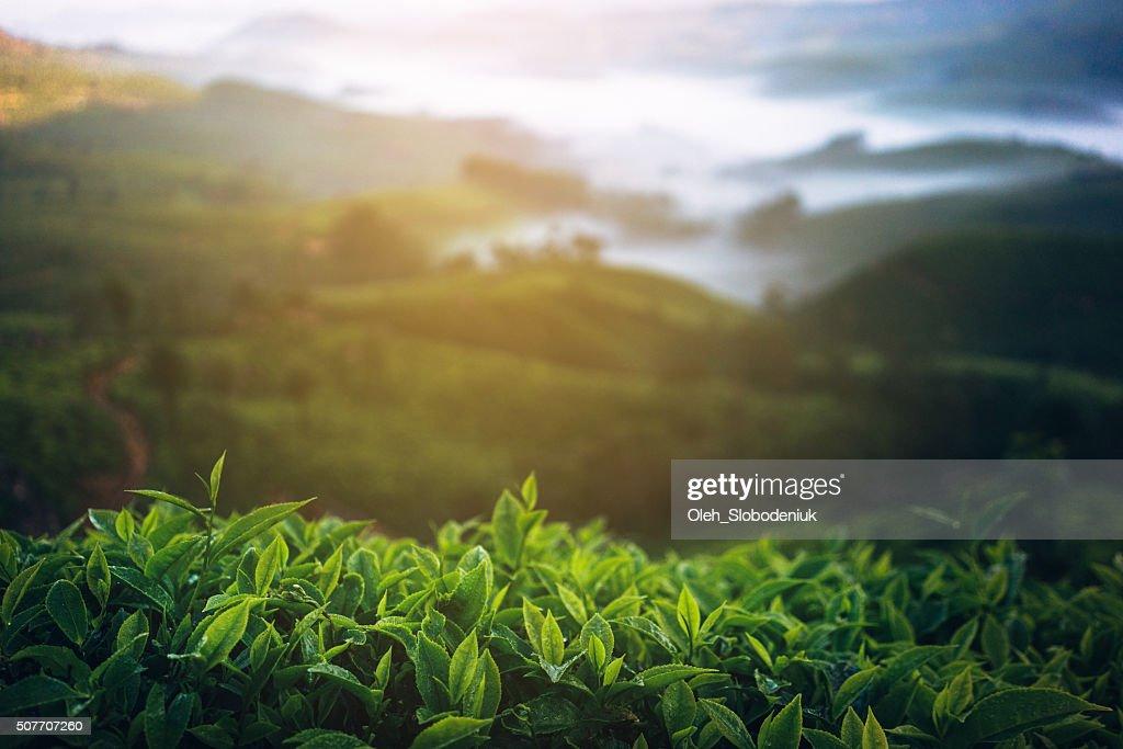 Tea plantation in India : Stock Photo