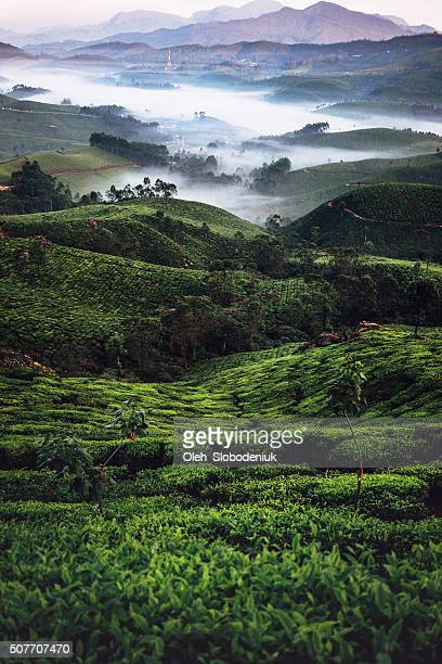 Tea plantation in India