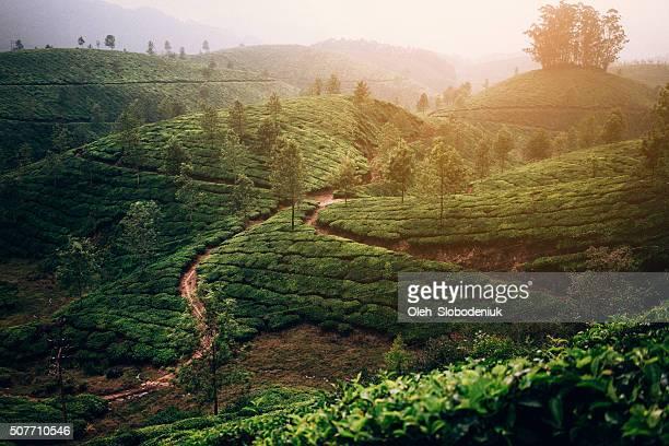 Plantación de té en la India
